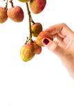 女性手采摘lychee果子 免版税库存照片