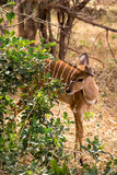 女性掩藏在南非的大草原,克鲁格公园的一点Kudu 免版税库存图片