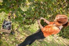 年轻女性收获的葡萄 库存照片