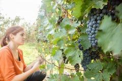 女性收获的葡萄 库存图片