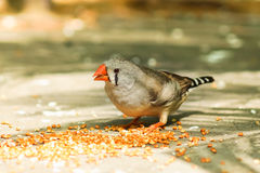 女性斑胸草雀拉特 Taeniopygia guttata是雀科weaverbirds家庭的鸟  免版税库存图片