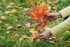 女性步行在秋天公园和收集brigth枫叶 免版税库存图片