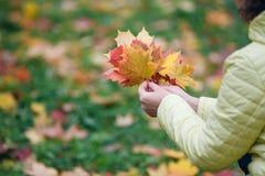 女性步行在秋天公园和收集brigth枫叶 免版税图库摄影