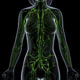 女性淋巴系统x光芒 向量例证