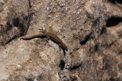 女性激昂的蜥蜴沙子石头 库存照片