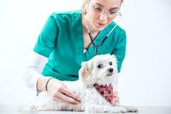 女性狩医examinates狗 免版税库存照片