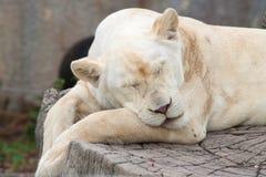 女性狮子休眠 免版税库存图片