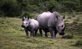 女性白犀牛/犀牛和小牛/婴孩 非洲著名kanonkop山临近美丽如画的南春天葡萄园 免版税库存照片