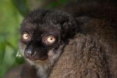 女性白头的狐猴Eulemur albifrons 库存图片