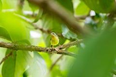 女性红宝石cheeked sunbird 免版税库存图片