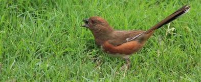 年轻女性红眼雀-种子 库存图片
