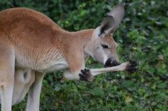 女性红色kangaroo2 库存照片