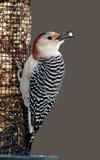 女性红鼓起的啄木鸟(Melanerpes carolinus) 库存照片
