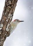 女性红鼓起的啄木鸟(Melanerpes carolinus) 免版税库存图片