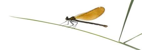 女性美丽的闺女- Calopteryx处女座 图库摄影