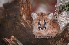 女性美洲狮小猫美洲狮concolor大蓝眼睛 免版税库存照片