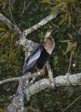 女性美洲蛇鸟树栖息处 免版税库存照片
