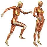 女性肌肉研究 免版税图库摄影
