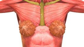 女性肌肉身体解剖学 库存例证