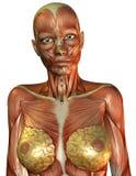 女性肌肉躯干 库存图片
