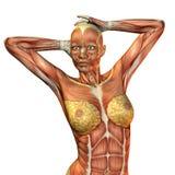 女性肌肉躯干 库存照片