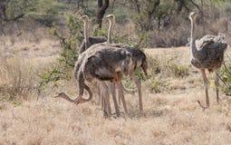 女性肯尼亚北驼鸟samburu六 库存照片
