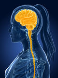 女性脑子 向量例证