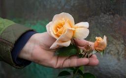 女性花匠在玫瑰园里在您的土质起皱纹的手上愉快地拿着在玫瑰丛的黄色玫瑰色开花 库存照片