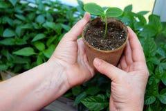 女性花匠的手显示泥煤植物罐用新芽黄瓜 图库摄影