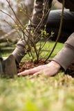 女性花匠种植灌木,环境美化和庭院工作 免版税库存照片