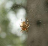 女性蜘蛛Araneus 免版税库存图片