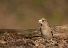 女性蜡嘴鸟哺养 免版税库存照片