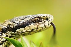 女性蝰蛇属ursinii画象  免版税库存图片