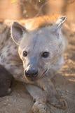 女性被察觉的鬣狗在克留格尔国家公园 库存图片