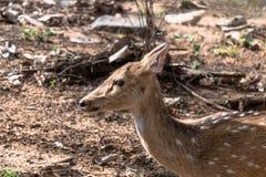 女性被察觉的鹿 免版税库存图片