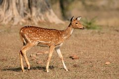 女性被察觉的鹿- Kanha国家公园 库存照片