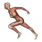 女性解剖学形象 向量例证