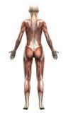 女性解剖学肌肉-后部看法 图库摄影