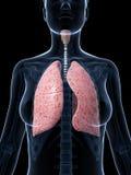 女性解剖学-肺 库存照片