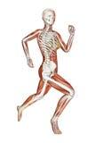女性赛跑者解剖学 库存照片