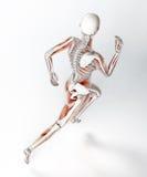 女性赛跑者解剖学 免版税库存图片