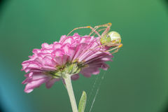 女性跳的蜘蛛 库存图片
