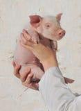 女性递猪 免版税库存图片