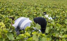 女性采摘葡萄香宾在Verzy 库存照片