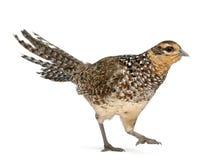 女性野鸡穿过s 免版税图库摄影