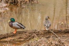女性野鸭和公鸭子 免版税图库摄影