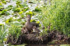 女性野鸭和婴孩 免版税库存照片