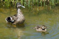 女性野鸭鸭子和这里鸭子 免版税库存图片
