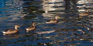 女性野鸭鸭子在水中 库存图片
