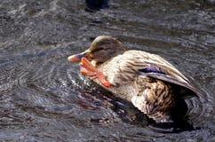 女性野鸭scrathes她的与脚的票据 免版税库存照片